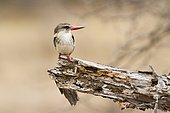 Brown-hooded Kingfisher (Halcyon albiventris) on a branch, Kruger National park