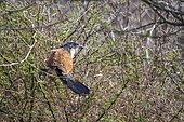 Coucal de Burchell (Centropus superciliosus) sur une branche, Kruger, Afrique du Sud