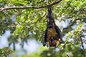 Indian Flying-fox (Pteropus giganteus) suspending, Yala national park, Tissamaharma, Sri Lanka