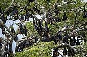 Indian Flying-fox (Pteropus giganteus) group suspending, Yala national park, Tissamaharma, Sri Lanka