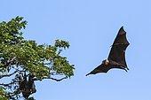Indian Flying-fox (Pteropus giganteus) in flight on blue sky, Yala national park, Tissamaharma, Sri Lanka