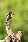 White-throated kingfisher (Halcyon smyrnensis) on stump, Arugam bay lagoon, Pottuvil nature reserve, Sri Lanka