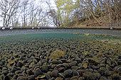 Corbicules striolées (Corbicula fluminalis) en hiver dans la rivière Le Cher, Zone natura 2000 Les Prairies du Fouzon, Centre Val-de-Loire, France