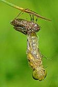 Dragonfly (Sympetrum sp) during the emergence, Prairie Fouzon Natura 2000 Zone, Centre Val-de-Loire, France