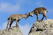 Spanish ibex (Capra pyrenaica) young fighting on rock, Guadarrama National Park, Madrid, Spain
