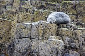 Grey seal (Halichoerus grypus) on rock, Farne Islands, England