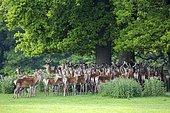 Red Deers (Cervus elaphus). Raby Castle, England