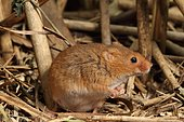 Harvest Rat (Micromys minutus) in a reedbed, Alsace, France