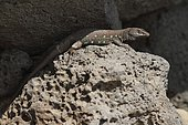 Atlantic lizard (Galliota atlantica), on rock. Lanzarote. Canary Islands