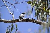 Cuckooshrike black mask (Coracina novaehollandiae) male on a branch bringing materials to make its nest, Kosciuszko National Park, Australia