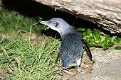Manchot pygmée (Eudyptula minor), Tasmanie, Australie