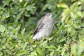Eurasian Sparrowhawk (Accipiter nisus) on a branch, Lorraine, France