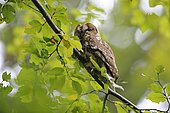 Tawny Owl (Strix aluco) on a branch, Lorraine, France