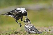 Australian Magpie leuconota (Gymnorhina tibicen telonocua) female and her young, Wilson promontory, Victoria, Australia