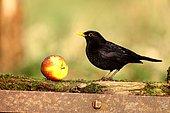 Blackbird (Turdus merula), single male on fence with apple, Warwickshire