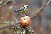 Blue tit (Parus caeruleus), single bird on apple, Warwickshire