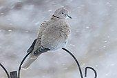 Collared dove (Streptopelia decaocto), single bird in gadren, Warwickshire,