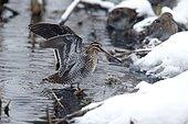 Common snipe (Gallinago gallinago), single bird in water bathing, Warwickshire