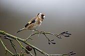 Goldfinch (Carduelis carduelis) Single bird on branch, Warwickshire