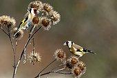 Goldfinch (Carduelis carduelis), Single bird on Burdock, Warwickshire,