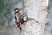 Great-spotted woodpecker, Dendrocopos major, Single female on Silver birch in snow, Warwickshire
