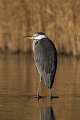 Grey heron (Ardea cinerea), single bird on ice, Warwickshire,