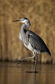 Grey heron (Ardea cinerea) single bird on ice, Warwickshire