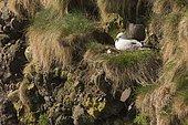 Northern Fulmar (Fulmarus glacialis) at nest, Scotland, UK