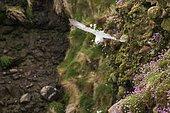 Northern Fulmar (Fulmarus glacialis) in flight, Scotland, UK