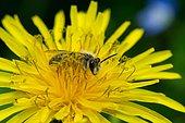 Mining bee (Halictus sp) foraging on Dandelion (Taraxacum sp) flower
