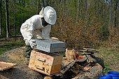 Récupération d'Abeilles forestières installées dans un chêne abattu lors d'une coupe dans une parcelle. Travail de transfert dans une ruche warré