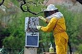 apiculteur récupérant un essaim d'abeilles dans une ruche warré
