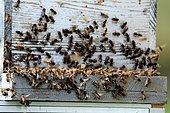 abeiiles à l'entrée d'une ruche warré