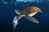 Green turtle eating a plastic bag resembling a jellyfish , Tenerife
