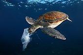 Green turtle eating a plastic bag resembling a jellyfish , Tenerife