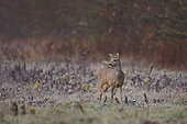 Roe deer (Capreolus capreolus) buck listening in a cold morning - Alsace, France