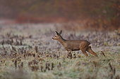 Roe deer (Capreolus capreolus) female listening in a cold morning - Alsace, France