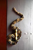 Boa constrictor (Boa constrictor imperator) wound on a door, France