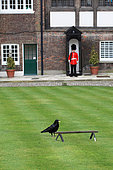 Raven (Corvus corax) in the gardens of the Tower of London, England, UK