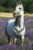 Thoroughbred Arab in a field of lavender, Provence, France