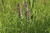 Burnt Orchid (Neotinea ustulata subsp. Ustulata) flowers, Illfurth, Alsace, France