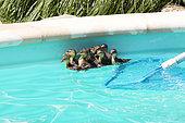 Mallard (Anas platyrhynchos) , first bath newborn ducklings hatched in vegetation bordering a private pool, Mulhouse, France.