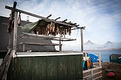 Cod drying on the island of Ammassalik, Greenland