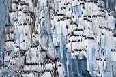 Brünnich's Guillemot (Uria lomvia) on the cliff of Alkfjellet, Svalbard.