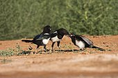 Eurasian Magpie (Pica pica) young begging for food Belchite Spain