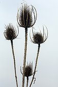 Fuller's teasel (Dipsacus fullonum), Mature and Dry Inflorescences in Spring, Roadside Hyères, France