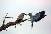 Rollier d'Europe (Coracias garrulus) Couple posé sur une branche d'arbre mort dans la campagne au printemps, Scène d'offrande d'un insecte par le mâle à la femelle, Delta du Danube, Roumanie