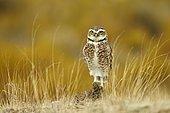Burrowing owl (Speotyto cunicularia), Punta Norte, Argentina