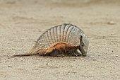 Hairy armadillo (Chaetophractus villosus), Punta Norte, Valdes Peninsula, Argentina