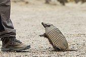 Hairy armadillo (Chaetophractus villosus), standing next to man, Punta Norte, Valdes Peninsula, Argentina